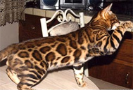 Bengal Cat - California Bengal Breeder, San Diego County Bengals, Bengal Cats