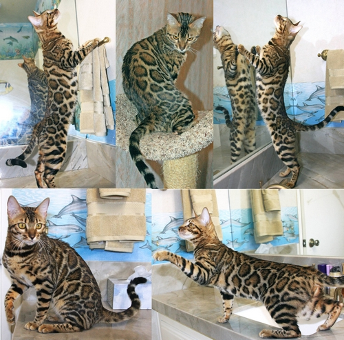 Bengal Cats For Sale Tulsa Ok