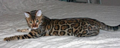 Bengal Cats are Domestic House Cats