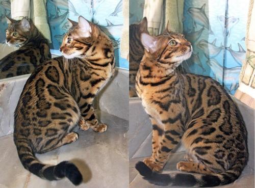 Bengal Cat Breeders California: Leopards Realm Bengal Cats