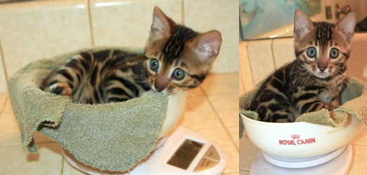 Best Food To Feed A Bengal Kitten