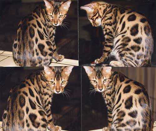 Bengal cat fuzzy stage