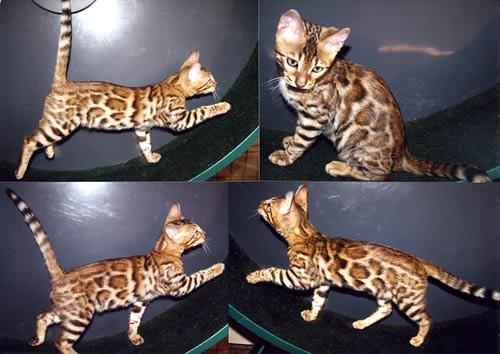 Bengal cat 6 months