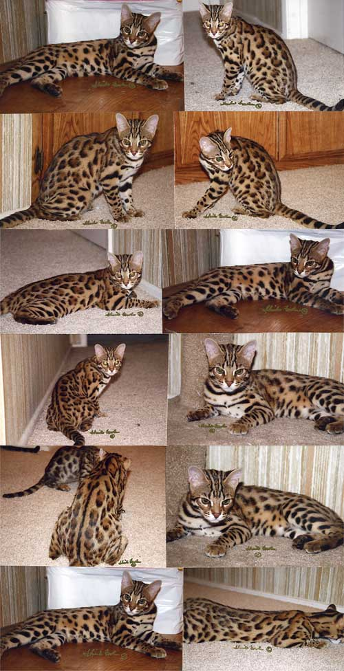 Bengal kittens for sale guildford