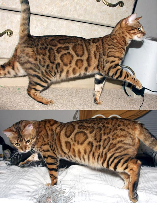 2010 Prius For Sale >> Bengal Kittens For Sale Rosetted Cat