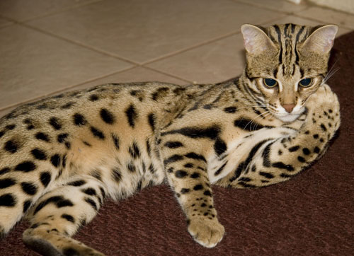 What is a f1 bengal cat