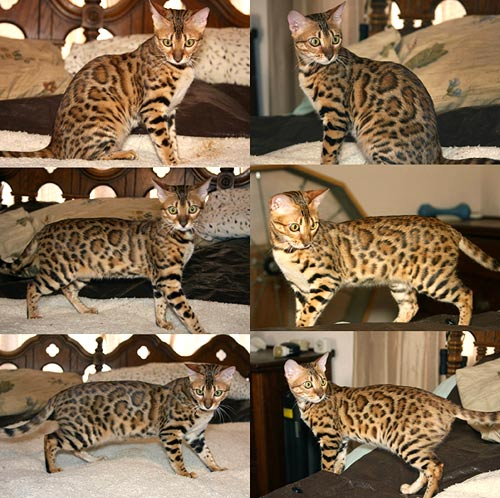 A Bengal Cat For Sale Bengal Kittens For Sal...