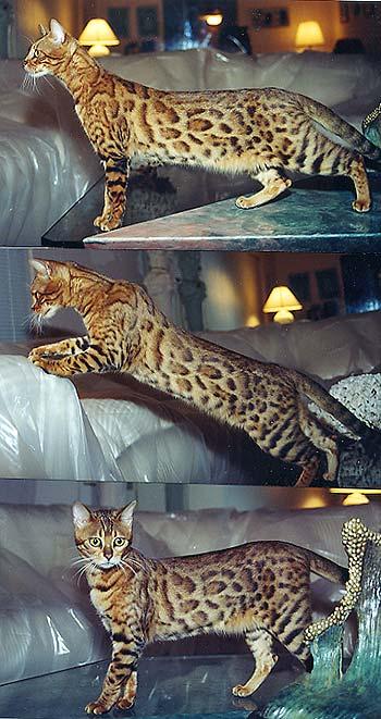 cat ate fragrance oil