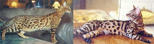 Bengal Cat - San Diego County Bengal Cat Breeder